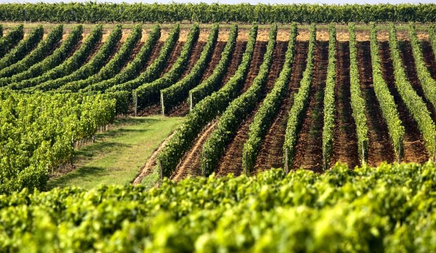vini viti culture